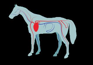 bloedsomloop paard